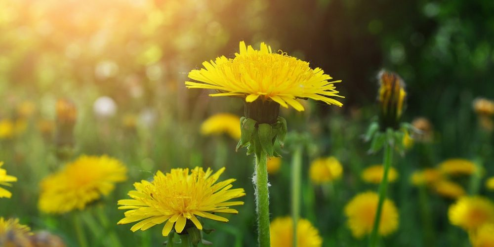 dandelions-wallpaper